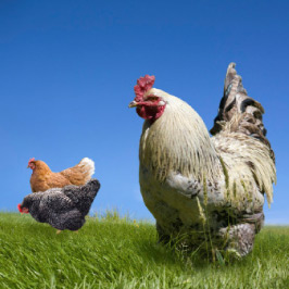 Chickens in an open field
